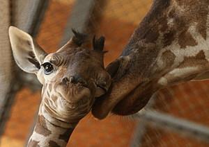Baby Giraffe Born In Himeji Central Park